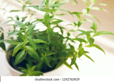 Aloysia citrodora, lemon beebrush, lemon verbena growing on the balcon. Selective focus
