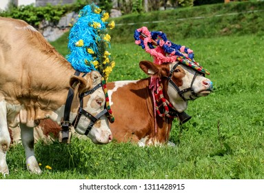 Alp down ceremony to celebrate the cows with decorated flowers bavarian tradition germany