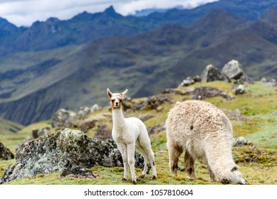 An alpaca baby and its mother standing in front of a breathtaking mountain backdrop in the Lares valley of Peru