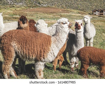 Alpaca, a domesticated species of South American camelid, resembles a small llama in appearance. Alpacas are kept in herds that graze on the level heights of the Andes of southern Peru.