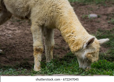 Alpaca eating the grass