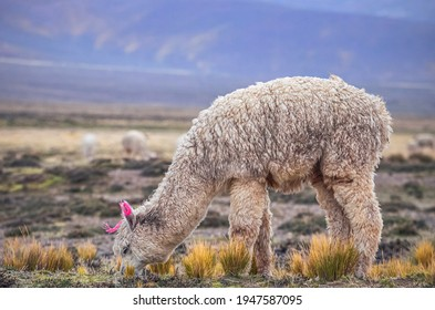 Alpaca eating grass in middle of mountain valley of Colca region, Peru. Southamerican landscape and fauna. Pasture and feed