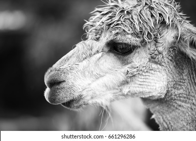 Alpaca in a field during the day in Queensland. Black and White