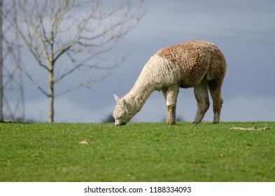 An alpaca grazes
