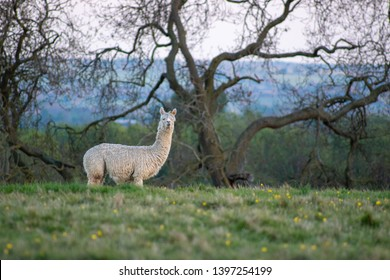 Alpaca grazing at a meadow in Warwickshire, England