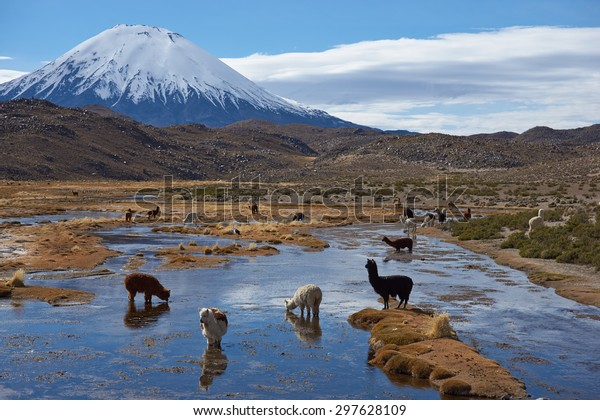 Alpaca grazing in a wetland area, also known as a bofedal in Spanish,  at the base of the snow capped Parinacota Volcano, 6324m high, in the Altiplano of northern Chile.
