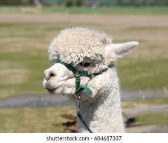 Alpaca with a harness and a lead