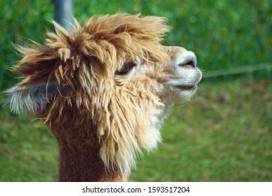 alpaca head farm animal wool agriculture brown llama