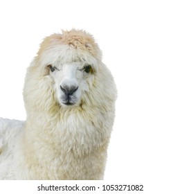 Alpaca head White feathers isolated on white background. This has clipping path. It is South American camelid southern Peru western Bolivia, Ecuador, and northern Chile