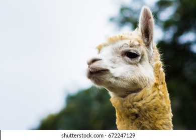 Alpaca headshot in the zoo