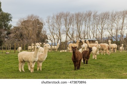 Alpaca herd farm in New Zealand.