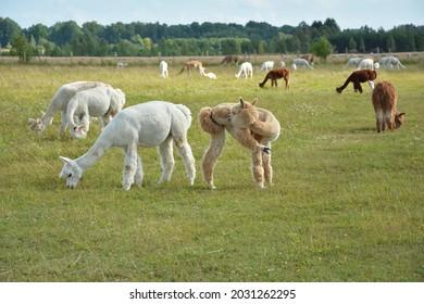 An alpaca herd in the pasture. Funny peruvian animal alpaca. Vicugna pacos.
