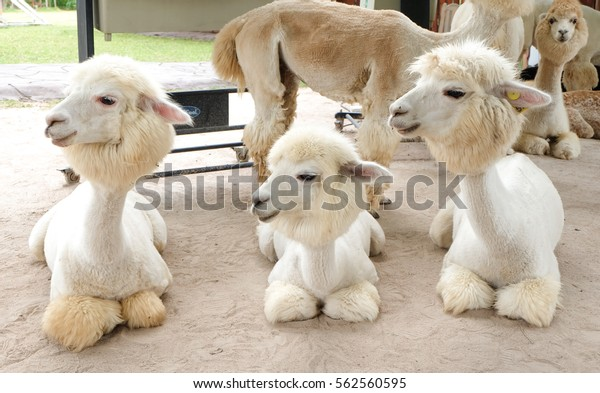 Alpaca at Alpaca Hill in Thailand