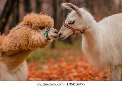 Alpaca and llama kiss. Exotic animals. Wildlife.