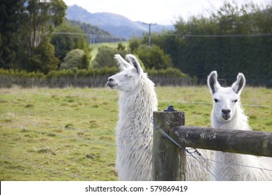 Alpaca looking at camera and another one looking to the side