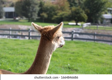 Alpaca looking into the distance