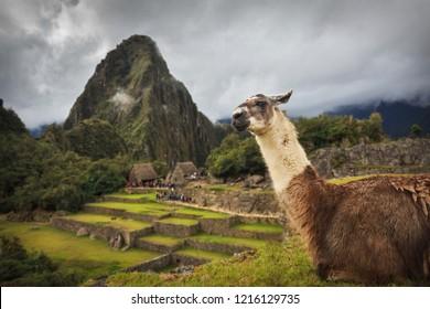 Alpaca in Machu Picchu