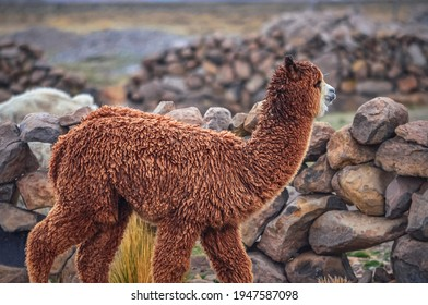 Alpaca in middle of mountain valley of Colca region, Peru. Southamerican landscape and fauna