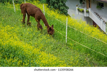 Alpaca nero (vicugna pacos - South American camelid) in a farm