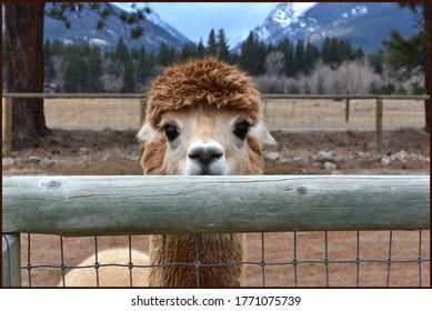 Alpaca Peeking Over Fence Rail