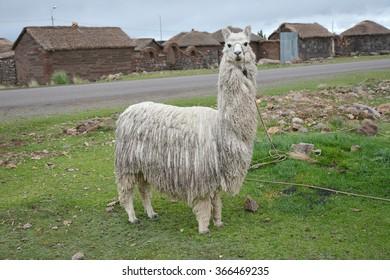 Alpaca in Peru.  Alpaca in Peru. Full body shot.