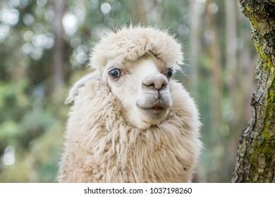 Alpaca in the Peruvian Andes