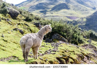 Alpaca in the Peruvian Andes captured during a trekking through Lares valley to Machu Picchu