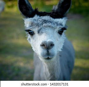 alpaca portrait. one black and white curious animal with dark long eyelashes.