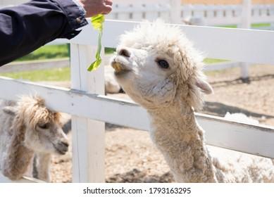 アルパカが観光農場で食べ物を受け取る