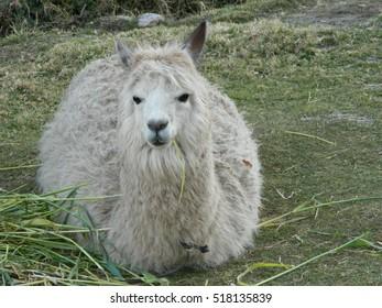 Alpaca resting on the grass