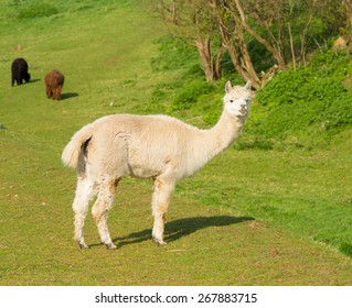 Alpaca South American camelid resembles small llama coat used for wool