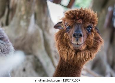 Alpaca in Thailand Zoo