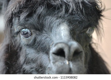 Alpaca (Vicugna pacos) is a domesticated camelid from South America. Kept in the Andes at altitude of 3500-5000 m throughout the year, it relies on its thick wool to prevent heat dissipation.