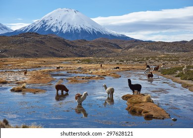 Alpaca (Vicugna pacos) grazing in a wetland area, also known as a bofedal in Spanish,  at the base of the snow capped Parinacota Volcano, 6324m high, in the Altiplano of northern Chile.