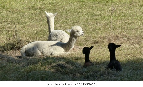 The Alpaca (Vicugna pacos) is a species of South American camelid, similar to, and often confused with the llama. Camelidae family. Lacation: hanover District, Germany