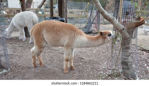 The Alpaca (Vicugna pacos) is a species of South American camelid, similar to, and often confused with the llama.