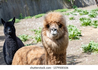 The Alpaca (Vicugna pacos) is a species of South American camelid, similar and often confused with the llama. However, alpacas are often noticeably smaller than llamas