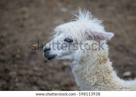 Foto stock a tema Alpaca White Ilama Funny Animal Profile (modifica ... 34468561791d