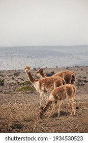 Alpaca in the wild. Llama on the andes mountains