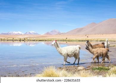 Alpacas by mirror lake, southern Bolivia