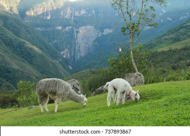 Alpacas with Gocta waterfall in the background, Peru