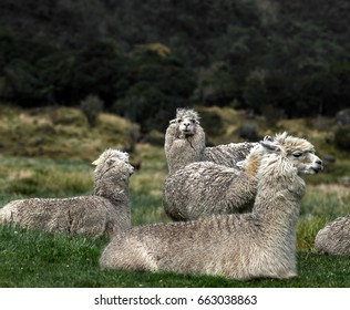 Alpacas grazing in Andes meadow, Ecuador