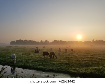Alpaca's grazing in the morning