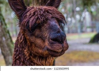 Alpacas in groups and solo