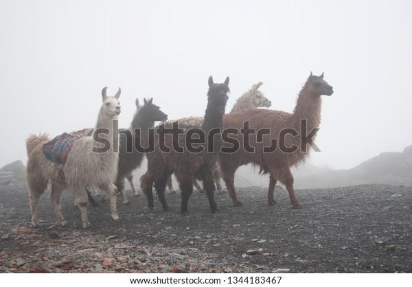 Alpacas Hazy Mountains Bolivian Andes Mountain Stock Photo Edit Now 1344183467