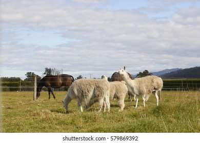 Alpacas and horses eating grass at the farm with sky and mountain