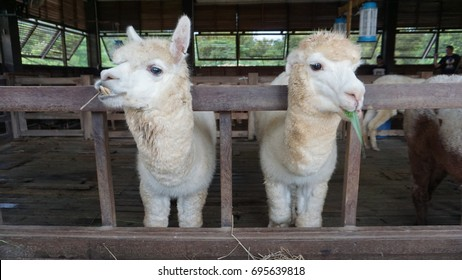 Alpacas in the kennel chewing their food.