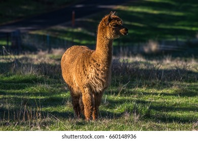 Alpaca's are a native animal of South America that resembles a small llama