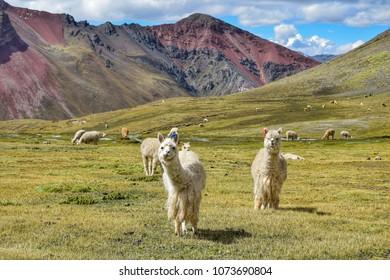Alpacas near Vinicunca mountain (Peru)