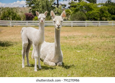 alpacas on a farm on natural background